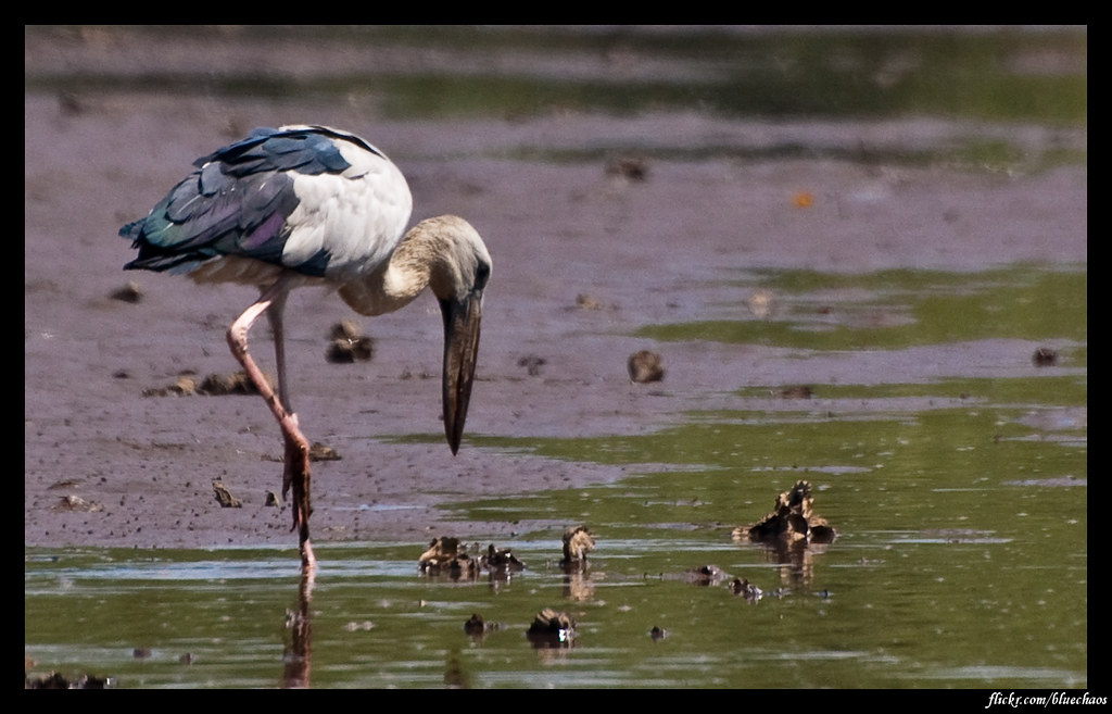 woolly‑necked‑stork-2