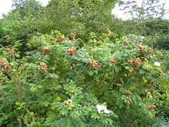 shrub, garden roses, flower, plant, rosa rubiginosa, rosa canina, produce, food, rosa rugosa,