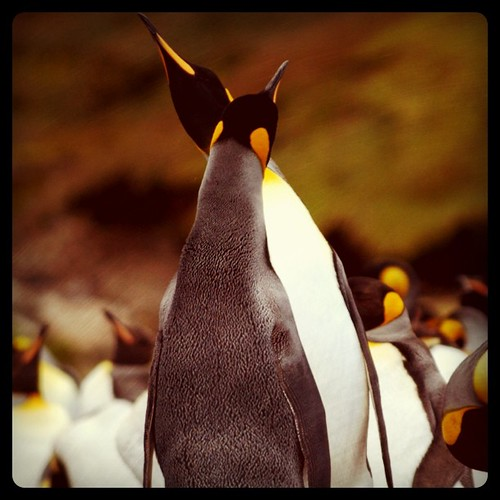 square penguin couple squareformat sou hefe manchot kerguelen taaf frenc iphoneography instagramapp uploaded:by=instagram frenchsou