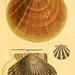 American marine conchology
