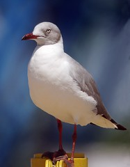 Gray-hooded Gull (Chroicocephalus cirrocephalu) at Coney Island, NY