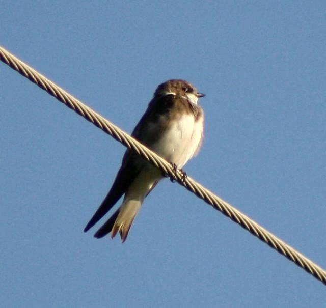 Bank Swallow | Flickr - Photo Sharing!