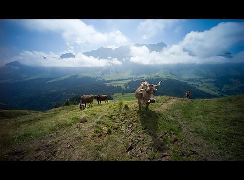 leica landscape schweiz switzerland kuh cow suisse hiking rangefinder moo 12mm fullframe voigtländer appenzell m9 säntis alpstein randonnée ultrawideheliar kronberg 2011 110801 messsucher ©toniv leicam9 flickrtravelaward l1003431