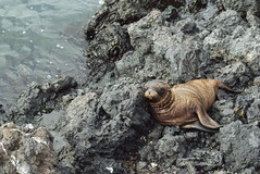Baby Galapagos sea lion (Zalophus wollebaeki) on Isabela, Galapagos Islands