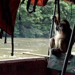 White-fronted spider monkey (Ateles belzebuth), Amazon, Ecuador