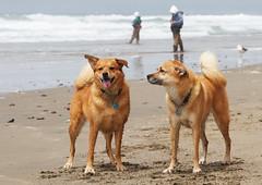 Photograph: Bear & Dozer enjoying the beach