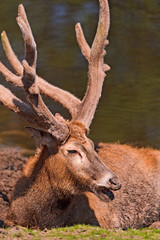 Lying deer with big horns