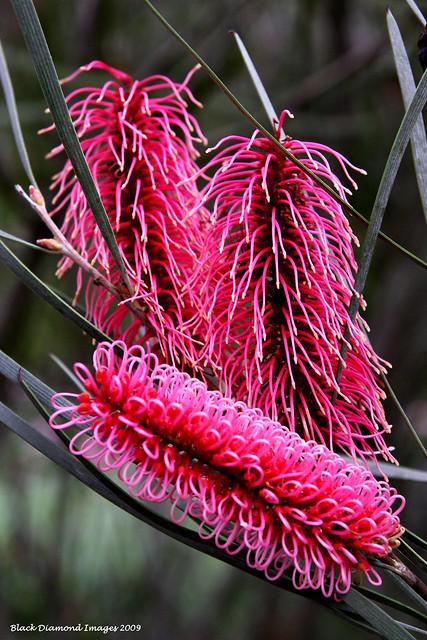 Hakea francisiana (Syn - Hakea coriacea) - Cork Tree, Bottlebrush Hakea, Pink Spike Hakea