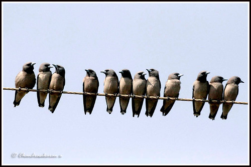 1634 ashy woodswallows 2