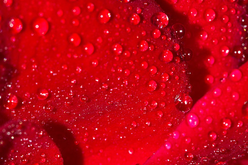 Natures Tears On A Rose