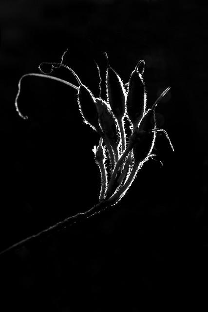 azalea seed pod