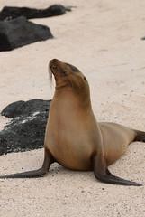 sea lion posing