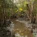 Mangrove Forest - Sundarbans, Bangladesh