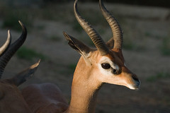 bongo(0.0), animal(1.0), antelope(1.0), springbok(1.0), mammal(1.0), horn(1.0), fauna(1.0), close-up(1.0), impala(1.0), gazelle(1.0), wildlife(1.0),