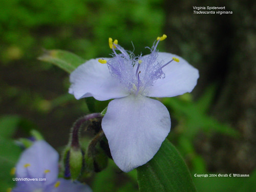 Virginia Spiderwort - Tradescantia virginiana