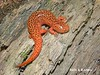 Northern Red Salamander (Pseudotriton ruber ruber) by Bill J. Estes
