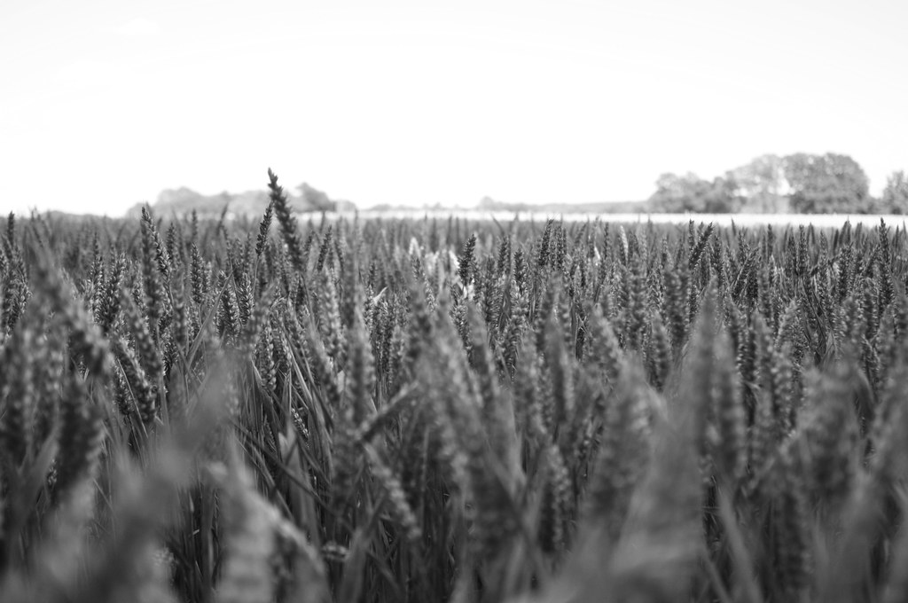 Wheat Otford to Eynsford - Sunday, 24 July 2011