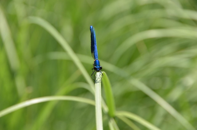 Dragon fly on the pampas