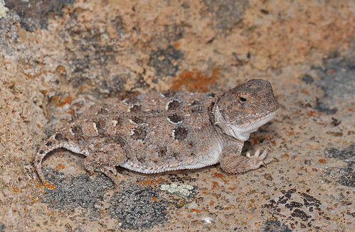 Pygmy Short-horned Lizard.  Photo © flickr user: JDShedd.