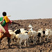 Pastoralist with herd