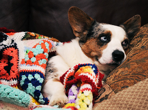 "52 Weeks for Dogs: 39/52 ""Borrowed Blanket"""