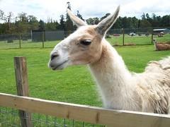 alpaca(0.0), animal(1.0), zoo(1.0), mammal(1.0), llama(1.0), fauna(1.0), guanaco(1.0), pasture(1.0),
