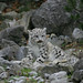 Snow leopard cub amidst rocks