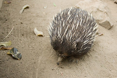 echidna, animal, porcupine, monotreme, fauna,