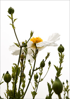 Matilija poppy    (13 July 11)