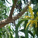 Small photo of Acacia auriculiformis with yellow flowers