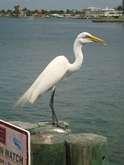 wildlife(0.0), animal(1.0), pelican(1.0), fauna(1.0), great egret(1.0), heron(1.0), beak(1.0), bird(1.0), seabird(1.0),