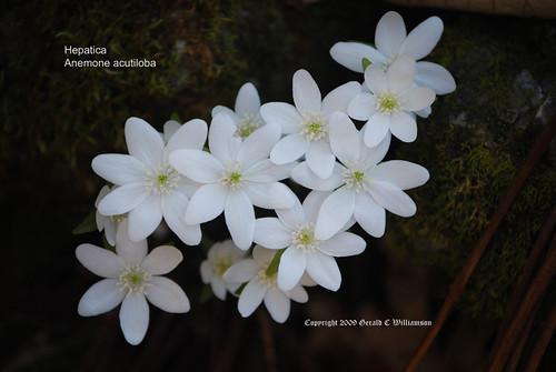 Sharp-lobed Hepatica - Hepatica nobilis