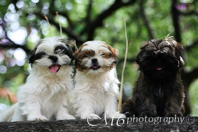 Shih Tzu Pups