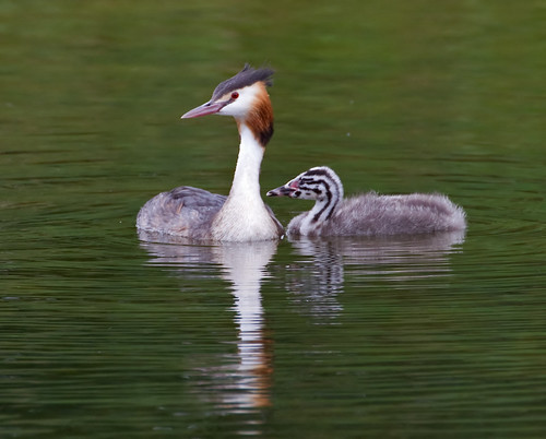 Grebes Mother and Chick