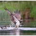 Osprey vs Mallard by Pete Walkden