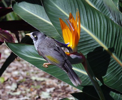 Noisy Miner perching on Bird of Paradise Flower