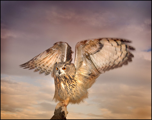 The Eagle Owl Has landed