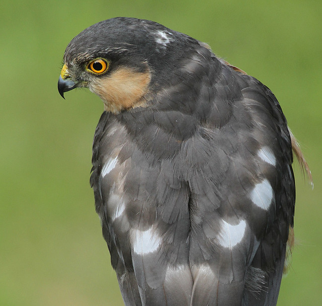 Sparrowhawk (Accipiter nisus) Other Images Below.