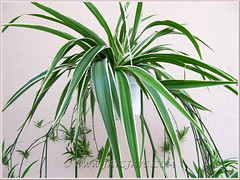 Chlorophytum comosum 'Variegatum' with green leaves and white margins