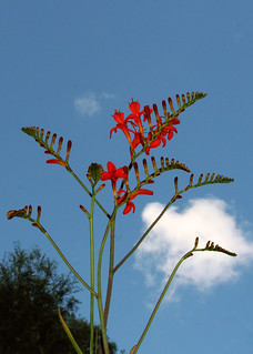 Lucifer (Crocosmia)