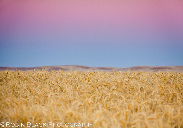 Belt of Venus, Earth Shadow, Sierra Foothills, Wheat Field (wheatfield study 2)