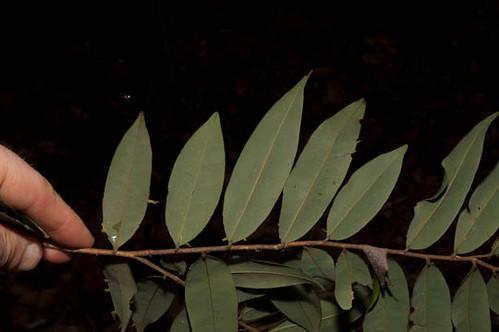 annonaceae xylopia xylopiacupularis harris9500 taxonomy:binomial=xylopiacupularis