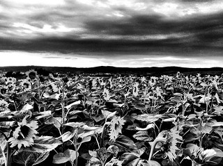 Storm of the sunflowers