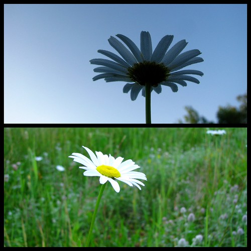 flower fleur daisy marguerite fkchs blogfkchs