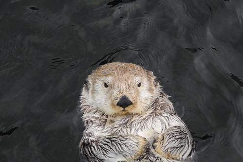 lazy Otter