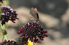Common Sootywing, Virginia