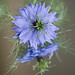 Love in a mist (Nigella damascena) 3