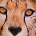 The eyes of the cheetah