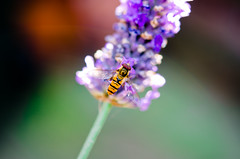 Hoverfly and Lavender Bokeh. By Thomas Tolkien