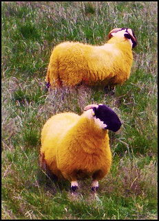 orange sheep